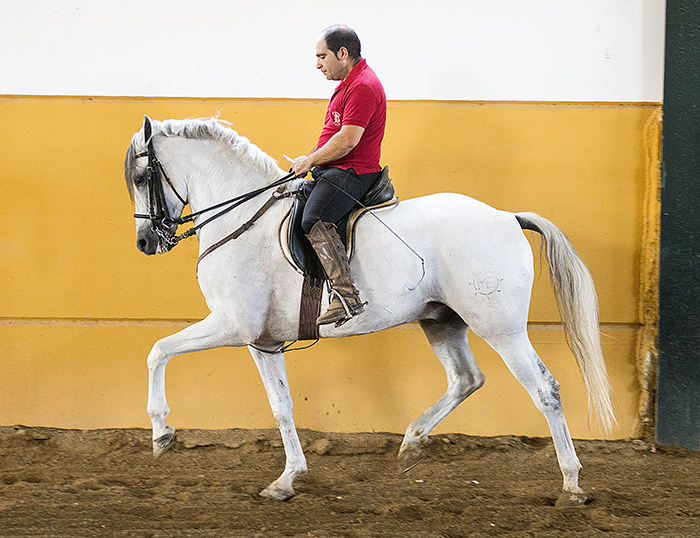 Classical Dressage Horse