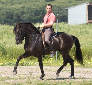 Andalucian horses for sale