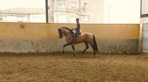 Buckskin andalusian high school horse for sale