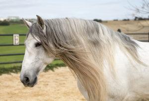Andalusian Pura Raza Española PRE horses sale