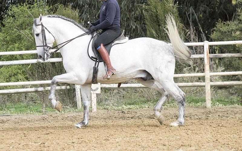 Bombproof Grand Prix Schoolmaster Stallion