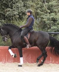 Black Escalera Stallion