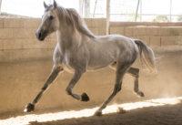 Lancero PRE Stallion