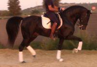 Sexy Inter II black PRE schoolmaster stallion!