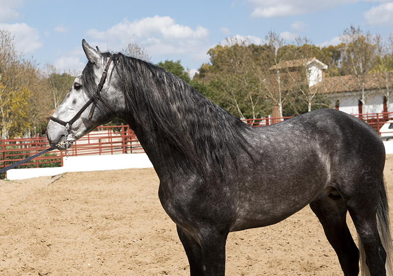 Young P.R.E Stallion Sired By Champion