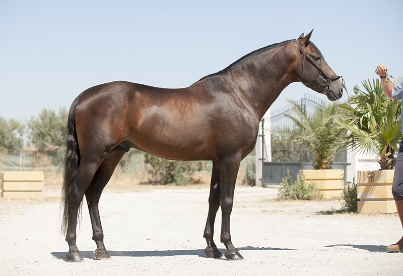 Decidido Can a PRE stallion with very good breeding for functionality