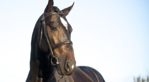 NR Gavillero PRE youngster with top breeding