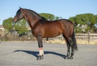 Fandango Lop is a lovely large PRE stallion