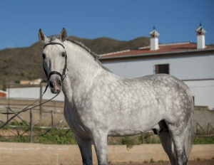Electric PRE stallion with high level schooling