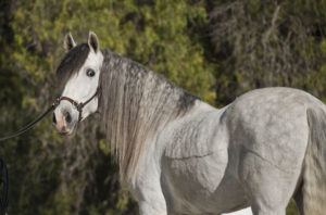 Solomon, great PRE gelding for hobby riding, fun, forward and perfect for young rider!