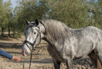 Jaqueton TP, PRE stallion with Ventura lineage