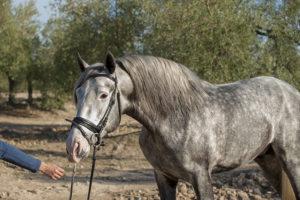 Jaqueton TP, PRE stallion with Ventura lineage
