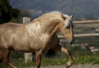 Ibero a ray of golden purebred PRE sun! Palomino Stallion