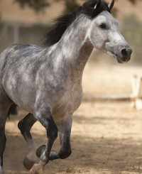 Spanish Horse With Talent