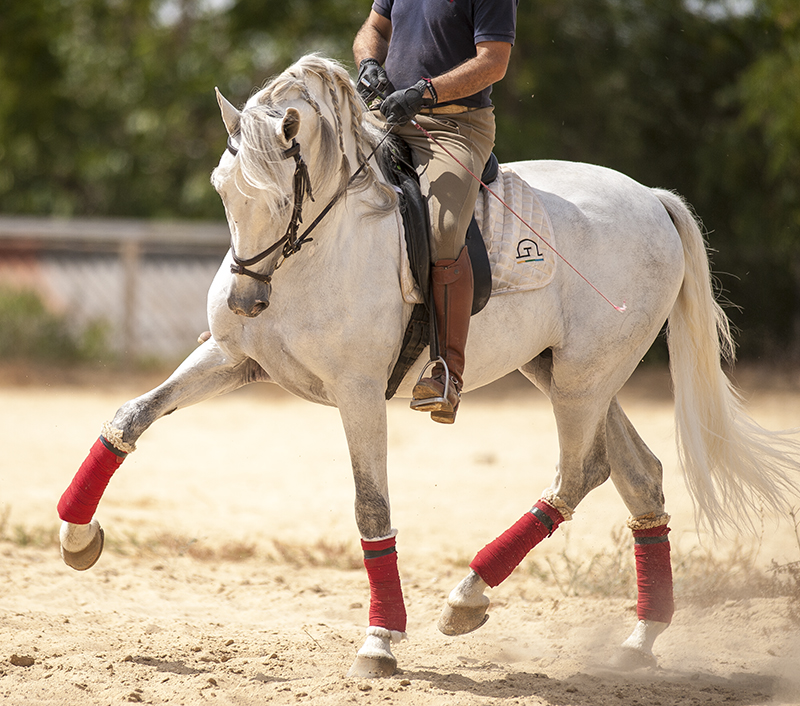 Andalusian with good character