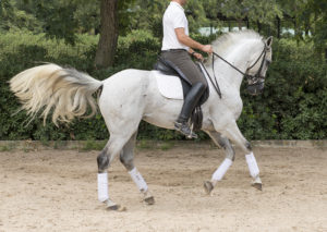 Purebred spanish horses for sale