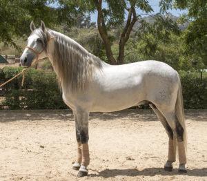 Large FEI PRE horse