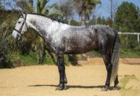 Alcazar Real PRE stallion