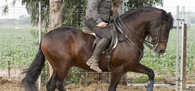 Nice Lusitano Suitable for Insecure rider
