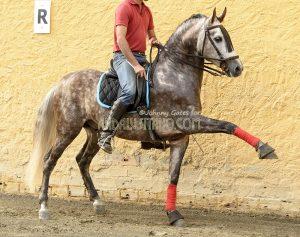 Urso PRE stallion advanced for age
