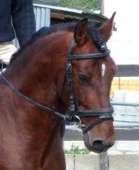 Chico PRE stallion