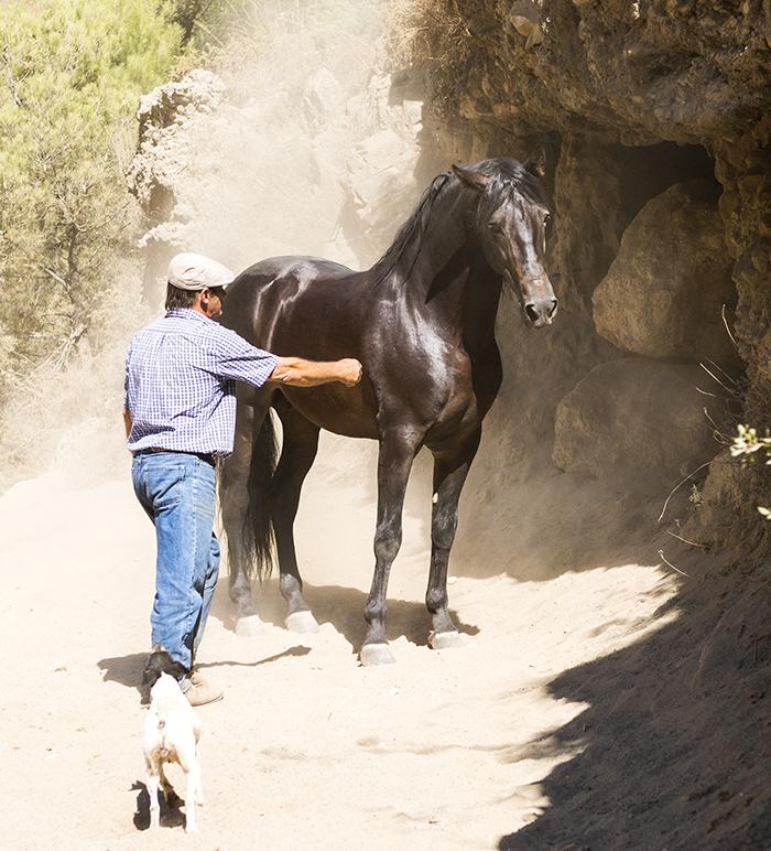 Andalucian horses