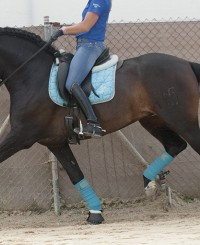 Stunning dark bay dressage horse for someone who wants to compete in dressage.
