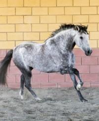 Baroque PRE stallion