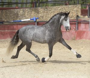 Truly Amazing Stallion From Bocado Line