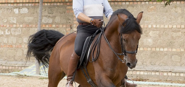 Pura Raza Española Stallion For Dressage