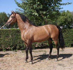 Purebred Spanish Bayo Stallion FEI PSG/GP