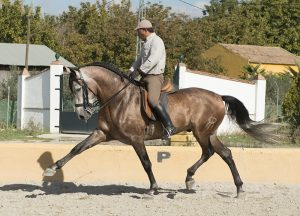 tall PRE with Dressage Lineage