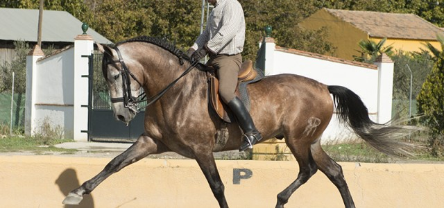 tall pre stallion with dressage lineage