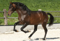 Fabulous young PRE stallion