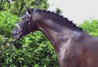 Very nice black PRE stallion with dressage movement